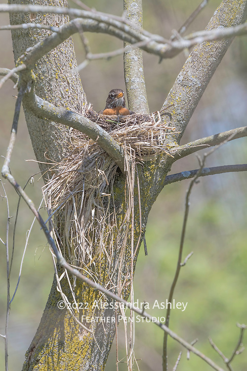 American robin incubating eggs in a nest of grasses and mud.