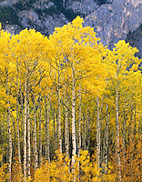 Aspen grove in autumn Kananaskis Country Alberta Canada AUT#4872.1