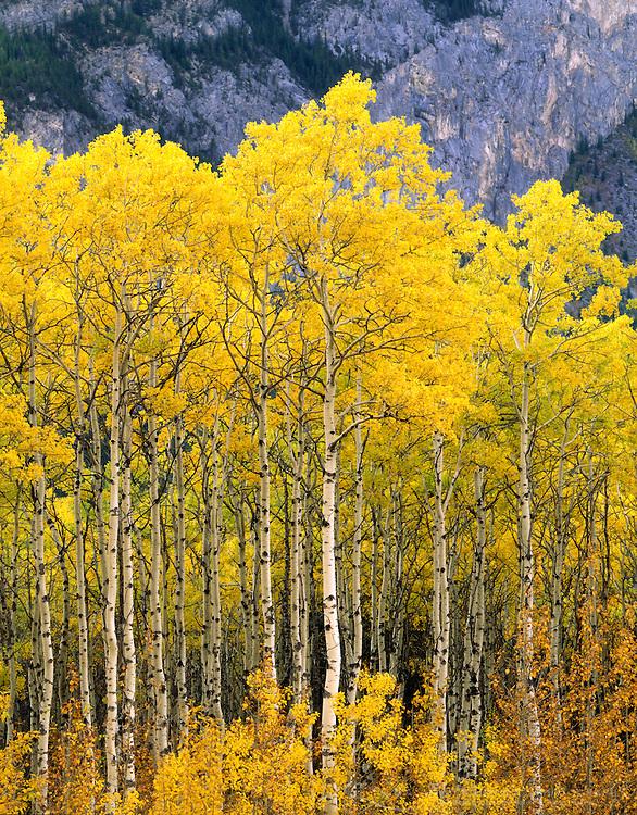 Aspen grove in autumn Kananaskis Country Alberta Canada AUT#4872.1