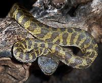 Eel Snake (Pseudoeryx plicatilis)