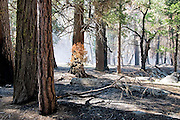 The smoke from a prescribed burn lingers in a ponderosa pine forest in Kings Canyon National Park, California. Crews in the park undertake controlled fires to restore the natural fire cycle and prevent a dangerous accumulation of understory vegetation.