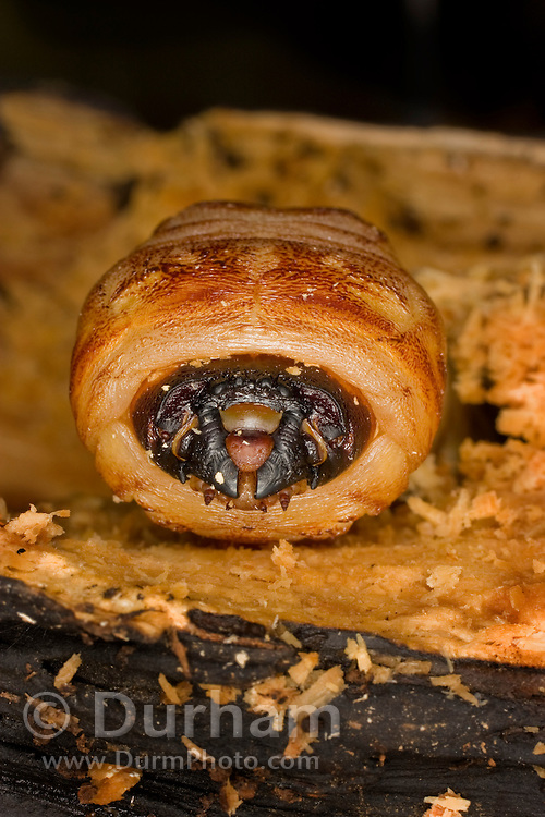 A giant root borer beetle larva (Prionus californicus) boring through decaying soft wood. Colevlle National Forest, Washington. These beetle larva typically attack the roots and root ball of trees. They are considered a forest pest as they often kill the trees they infest