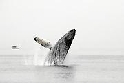 Humpback Whale Breeching, Alaska
