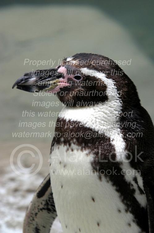 Humboldt Penguin (Photo by Alan Look)