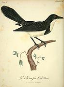 Hausse col noir from the Book Histoire naturelle des oiseaux d'Afrique [Natural History of birds of Africa] Volume 3, by Le Vaillant, François, 1753-1824; Publish in Paris by Chez J.J. Fuchs, libraire 1799 - 1802