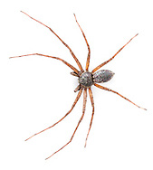 Philodromus aureolus - male. A common running crab spider found on trees and bushes everywhere.