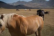 Horses in the Castelluccio di Norcia valley