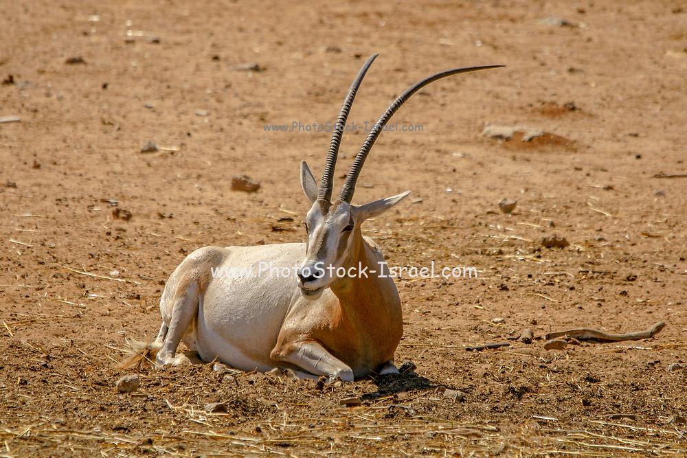 Arabian oryx or white oryx (Oryx leucoryx)