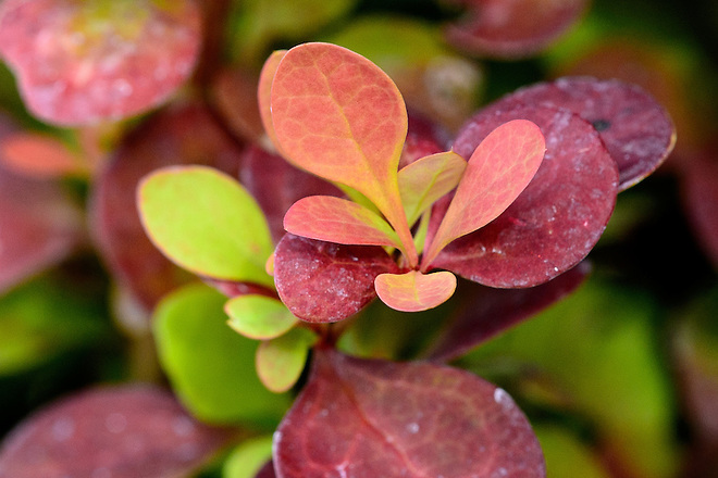 Barberry Orange Rocket (Berberis thunbergii) is a fast-growing ornamental shrub that is considered water-wise or drought tolerant and it is available at local nurseries in California. Photo taken May 12, 2016.   Kelly M. Grow / California Department of Water Resources