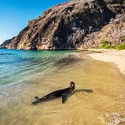 Galapagos sea lion (Zalophus wollebaeki) plays in the surf, San Cristobal Island, Galapagos, Ecuador.