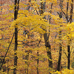 Twin Mountain, NH. Fall in a hardwood forest on the Sugarloaf Trail in the White Mountain National Forest.