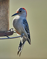 Red-bellied Woodpecker (Melanerpes carolinus). Image taken with a Nikon D800 camera and 600 mm f/4 VR lens.