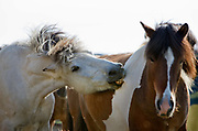 Horse riding in Southern Iceland. Fossness Farm. The leader of the loose horses using a bite to control the team.