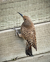 Northern Flicker Boulder Marriott Residence Inn. Image taken with a Nikon D2xs  camera and 70-200 mm f/2.8 lens.