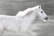 KIWDINOK MEANS 'OF THE WIND' IN THE CHEYENNE LANGUAGE. THIS POWERFUL BLUR IS NOT MANIPULATED IN ANY WAY POST PRODUCTION. THIS MARE APPEARS AS IF SHE IS 'OF THE WIND'... LIKE SHE IS LIKE AN ANGEL FROM A DREAM OR VISION.