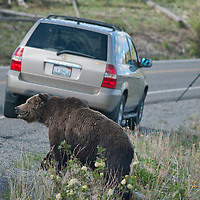 A Grizzly Bear (Ursus arctos horribilis) walks dangerously close to a photographer in Yellowstone National Park.