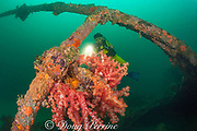 diver examines soft corals, Dendronephthya sp., growing on the wreck of the San Quentin or San Quintin, a Spanish gunboat sunk in 1898 during the Spanish-American War between Grande and Chiquita Islands at the entrance to Subic Bay, Philippines; wreckage is scattered over a reef at a depth of 9-18 m. MR 379