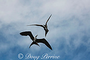aerial combat between magnificent frigate birds, Fregata magnificens, juvenile below and transitional female above, offshore from southern Costa Rica, Central America ( Eastern Pacific Ocean )
