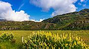 Yellow lupine at Glendhu Bay, Wanaka, Otago, South Island, New Zealand