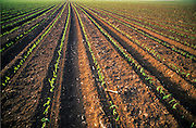 young corn seedlings in a field. Photographed in Israel
