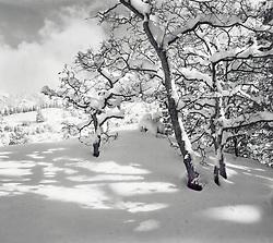 Snow Trees Against Sky, Telluride, Colorado