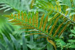 Polypodium cambricum (Semilacerum Group) 'Falcatum O'Kelly'. Fern