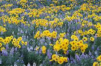Methow Valley wildflowers, Balsamroot (Balsamorhiza deltoidea) and Lupines (Lupinus latifolius x sericeus var. latifolius), North Cascades Washington