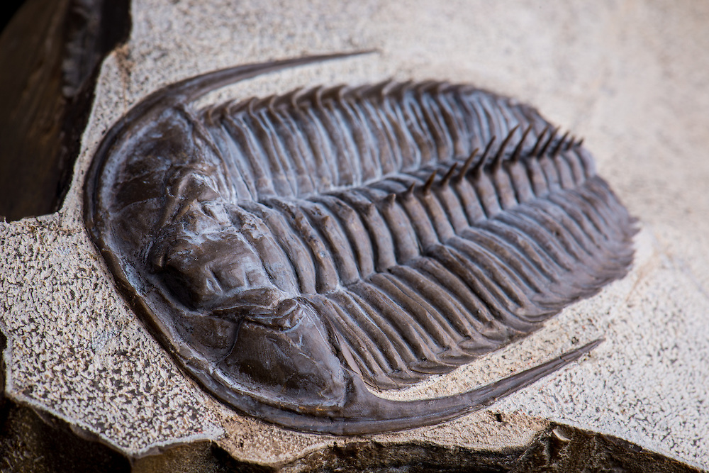 Jakutus primigenius (sagittal length: 82mm) is a rare Lower Cambrian (Botoman) ptychopariid trilobite from the Achchagy-Tuoydakh Lagerstatte in Siberia. The spines have been reconstructed.