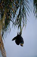 Hyacinth Macaw, Anodorhynchus hyacinthinus, Pantanal, Brazil