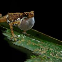 Lowland Dwarf Toad (Pelophryne signata), male vocalising. Sarawak, Malaysia (Borneo).