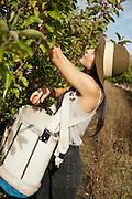 Natasha picks heirloom apples at Wanderin Aengus Cidery in Salem, Oregon.