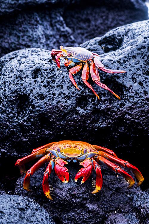 Sally lightfoot crabs (Grapsus grapsus), two, on black volcanic rocks. Fernandina Island, Galapagos, Ecuador.