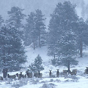 Elk, (Cervus elaphus) Herd grazing on Snowy slope of mountain in Rocky Mountain National Park.