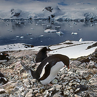 ANTARCTICA. Nesting Gentoo Penguins, Cierva Cove, Antarctic Peninsula near Argentina's Primavera Base.
