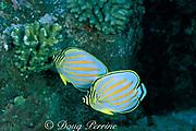 ornate butterflyfish,<br /> Chaetodon ornatissimus,<br /> South Kona, Hawaii, USA ( Pacific )