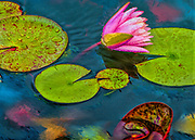 Water Lily at Mount Holyoke College campus in Massachusetts.