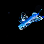 A Gyre Flyingfish (Prognichthys glaphyrae) photographed in the Sargasso Sea, Atlantic Ocean.