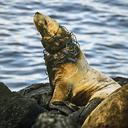 I often used to creep up close to the sea lions hauled out on Yasha Island, just off Point Gardiner at the southern end of Admiralty Island. I could see this young sea lion laying down on its belly, and that it had something around its neck, but nothing could have prepared me for the gut-wrenching sight when it reared up and I could see the full extent of the damage and suffering that this poor creature must have endured. The net had become deeply embedded in its throat as it had continued to grow after first getting entangled with it when it was probably playing with it. One strand of the net passed through its mouth like a horse's bit, and had pulled its mouth back into a horrific frozen grimace. I felt so sickened by the daily torture that this poor animal must have been subjected to, but it also seemed like it had somehow adapted to it demonstrating the incredible resilience of wild animals. Apart from its horrific embedded necklace it looked just as well fed and healthy as the other sea lions. I felt compelled to try to capture it without really knowing how I could hang onto the sea lion to remove the net, but I wasn't able to get close enough without disturbing all of the sea lions. When I returned to Petersburg I reported it to the Dept of Fish and Game, and was glad to hear that they were going there to do a survey, but unfortunately I later heard that they were unable to find the poor animal. I don't know how much longer that it would have been able to survive like this if it was still growing.<br />
