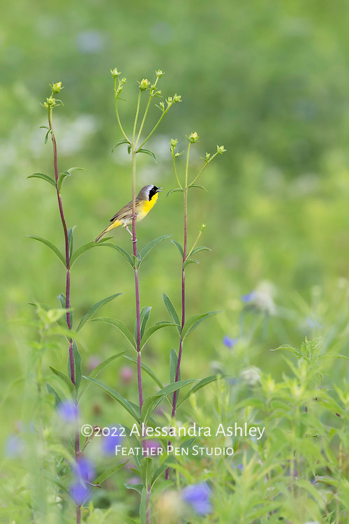 Common yellowthroat warbler male singing from a tall perch of prairie wildflowers at central Ohio tallgrass prairie.