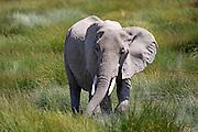 Elephant in East African savannah habitat