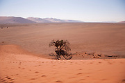 Camel Thorn Acacia tree (acacia erioloba) alongside a dune in Sossusvlei, Namib-Naukluft National Park, Namibia, Southern Africa.