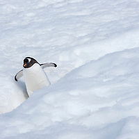 """A lone gentoo penguin walks down a penguin """"highway"""" in the snow on Petermann Island, Antarctica."""