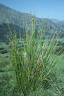 Soft Rush (Juncus effusus) HEIGHT to 1.5m. Characteristic perennial of overgrazed grassland, mostly on acid soils. Stems are yellowish green, glossy and smooth. FLOWERS Pale brown, in loose or open clusters near the stem tops (June-Aug). FRUITS Yellow-brown, egg-shaped, indented at the tip and shorter than sepals. LEAVES Absent.