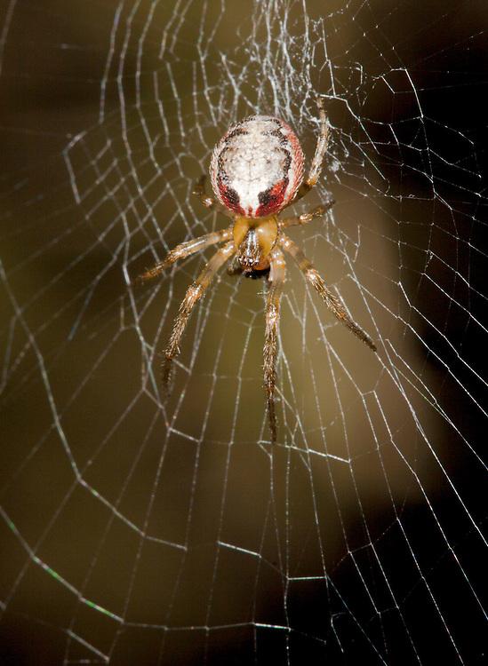 Zygiella atrica - Female on orb web.