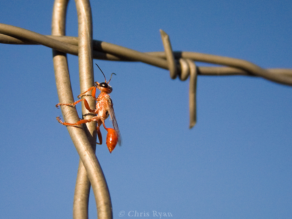 Ground wasp on barbed wire fence, New Mexico