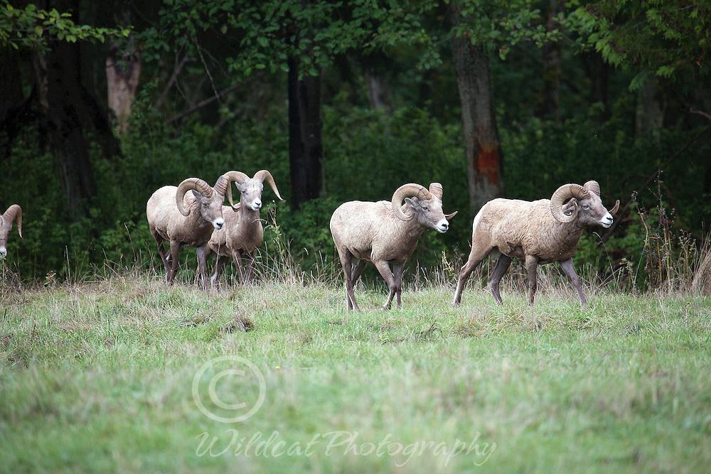 Bighorn sheep on the meadow