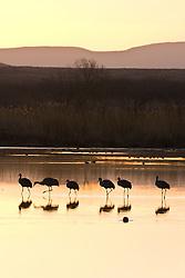 Sandhill cranes at sunrise (Grus canadensis) at Bosque del Apache National Wildlife Refuge, New Mexico, USA