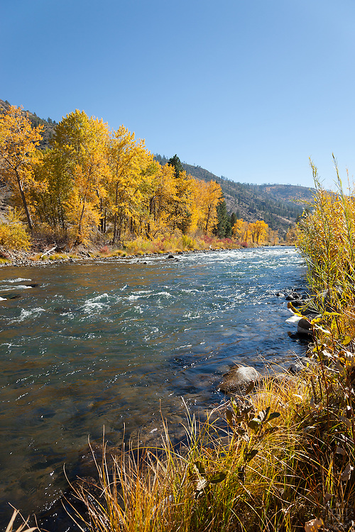 """""""Truckee River in Autumn 9"""" - Photograph of yellow leaved cottonwood trees, taken along the shore of the Truckee River in Autumn."""