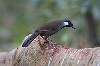 The black-throated laughingthrush (Pterorhinus chinensis) is a species of bird in the family Leiothrichidae.<br /> Its natural habitats are subtropical or tropical moist lowland forest and subtropical or tropical moist montane forest, mostly at submontane to montane elevations.