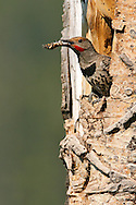 Northern Flicker (Red-shafted race) - Colaptes auratus - male